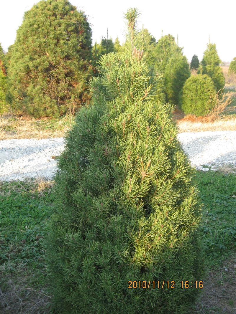 List Types of Pine Trees http://luerstreefarm.webs.com/trees.htm